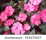 Impatiens Walleriana  Busy...