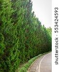 Leaves Of Pine Tree  Decorativ...