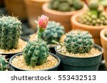 A Beautiful Cactus In Pot At...