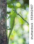 Small photo of hump snout lizard in Sinharaja nature reserve, Sri Lanka ; specie Lyriocephalus scutatus family of Agamidae