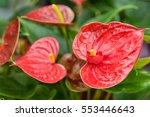 Anthurium Or Flamingo Flower...