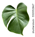 leaf of monstera plant. | Shutterstock . vector #553552867