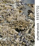 barnacles and mussels on beach... | Shutterstock . vector #55357732
