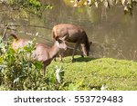 Two Deer At The Water