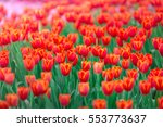 Red Tulip Field  Colorful...