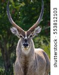 close up of a waterbuck with... | Shutterstock . vector #553812103