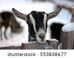 Alpine Goat Winter Snow Sports...