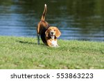 The Dogs Breed Beagle Is...