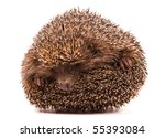 Nice Hedgehog Animal Isolated...