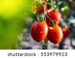 bunch of cherry tomatoes red... | Shutterstock . vector #553979923