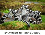 Lemurs In The Grass  Ring...
