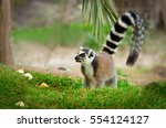Lemur In The Grass  Ring Taile...