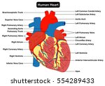 human heart muscle structure... | Shutterstock .eps vector #554289433