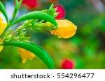 Small photo of Yellow allamanda