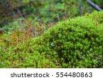 Sporophytes Of Polytrichum Mos...