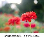 red flowers in the garden | Shutterstock . vector #554487253