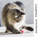 Stock photo brown tabby cat of siberian breed playing in the garden 554489917