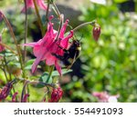 Bumble Bee Polinating Pink...