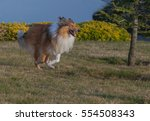 Rough Collie Dog Running In Th...