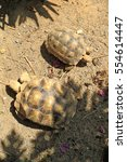 Small photo of African spurred tortoise sunbathe on ground with his protective shell , Slow life