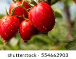bunch of cherry tomatoes red... | Shutterstock . vector #554662903