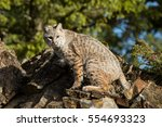Bobcat Sitting On A Rock  With...