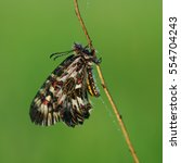 Small photo of Polyxena, or zerintiya Polyxena (Latin Zerynthia polyxena.) - Day butterfly family sailboat. Synonyms taxon: Zerynthia hypsipyle (Schulze, 1776), Zerynthia hypermnestra (Scopoli, 1763).