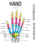 chart of hand posterior surface ...   Shutterstock .eps vector #554783113