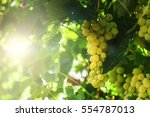 white grapes hanging on a bush... | Shutterstock . vector #554787013