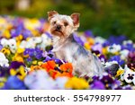 Yorkshire Terrier In A Flower...
