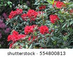 Small photo of Red-flowered rhododendron shrub