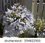 Stately  Purple  Tinged White ...