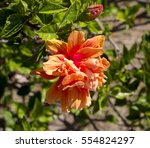 showy pink suffused with orange ... | Shutterstock . vector #554824297
