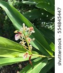 Small photo of alpinia galanga flower in nature garden