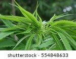 marijuanas | Shutterstock . vector #554848633