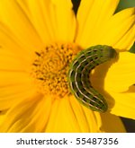 Caterpillar On A Bright Yellow...
