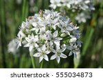 Small photo of Allium tuberosum