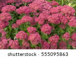 hylotelephium or sedum ... | Shutterstock . vector #555095863