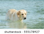 Dog Golden Retriever Standing...