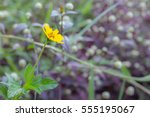 Small photo of Jerusalem artichoke tuber or sunflower (Helianthus tuberosus). Alternanthera dentata background