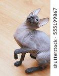 peterbald hairless cat sitting... | Shutterstock . vector #555199867