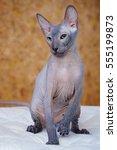 peterbald hairless cat sitting... | Shutterstock . vector #555199873