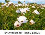 Closeup Of Field Of White Wild...
