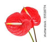Red Anthurium  Flamingo Flower...