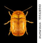 Small photo of Leaf beetle (Chrysomelidae) isolated on a black background.