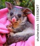 Orphaned Brush Tail Possum
