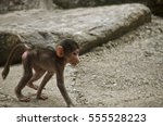 the baboon is exploring the... | Shutterstock . vector #555528223