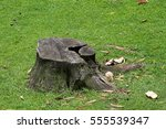 a tree stump in the ground. | Shutterstock . vector #555539347