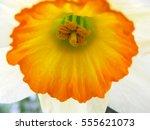 Macro Daffodil L