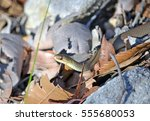 Small photo of Black-bellied Swamp Snake, Hemiaspis signata, in leaf litter. Royal National Park, Sydney, Australia